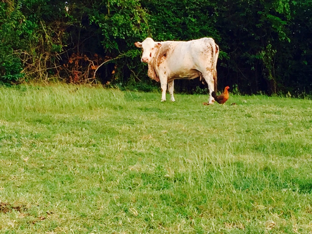 Cow with chicken photo